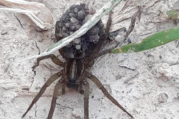 Закарпатці знайшли отруйного павука