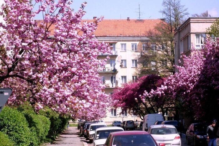 50 відтінків рожевого: в Ужгороді стартував сезон сакур (ВІДЕОСЮЖЕТ)