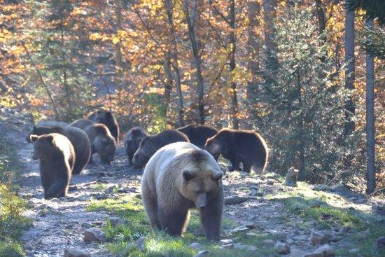 Реабілітаційний центр бурих ведмедів на Закарпатті зможе прийняти ще 12 клишоногих