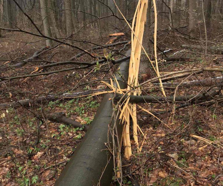 Незаконна вирубка лісу на Закарпатті: завдано шкоди на понад 600 тис грн