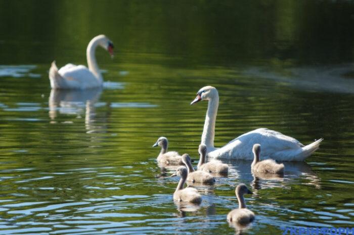 Ужгородському фотографу вдалося сфотографувати лебедину сім'ю