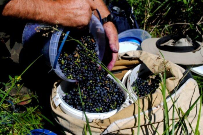 На Рахівщині у Богданській долині вже активно почали збирати на високогір'ях чорну ягоду – яфину