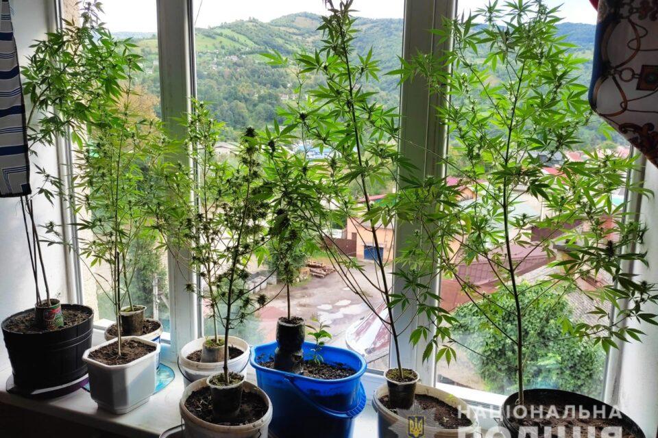 У Рахові затримали чоловіка, що вирощував коноплі і виготовляв марихуану на продаж (ФОТО)